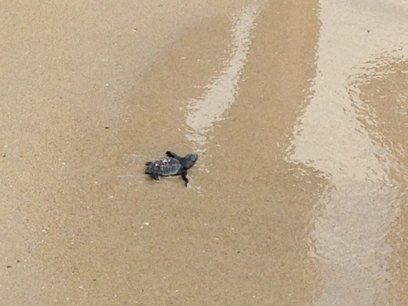 tartaruga-nata-a-pescoluse-nel-salento_0