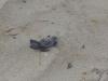 marine-di-salve-nata-tartaruga-caretta-caretta