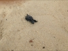 tartaruga-appena-nata-nel-salento