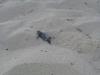 tartaruga-caretta-caretta-pescoluse