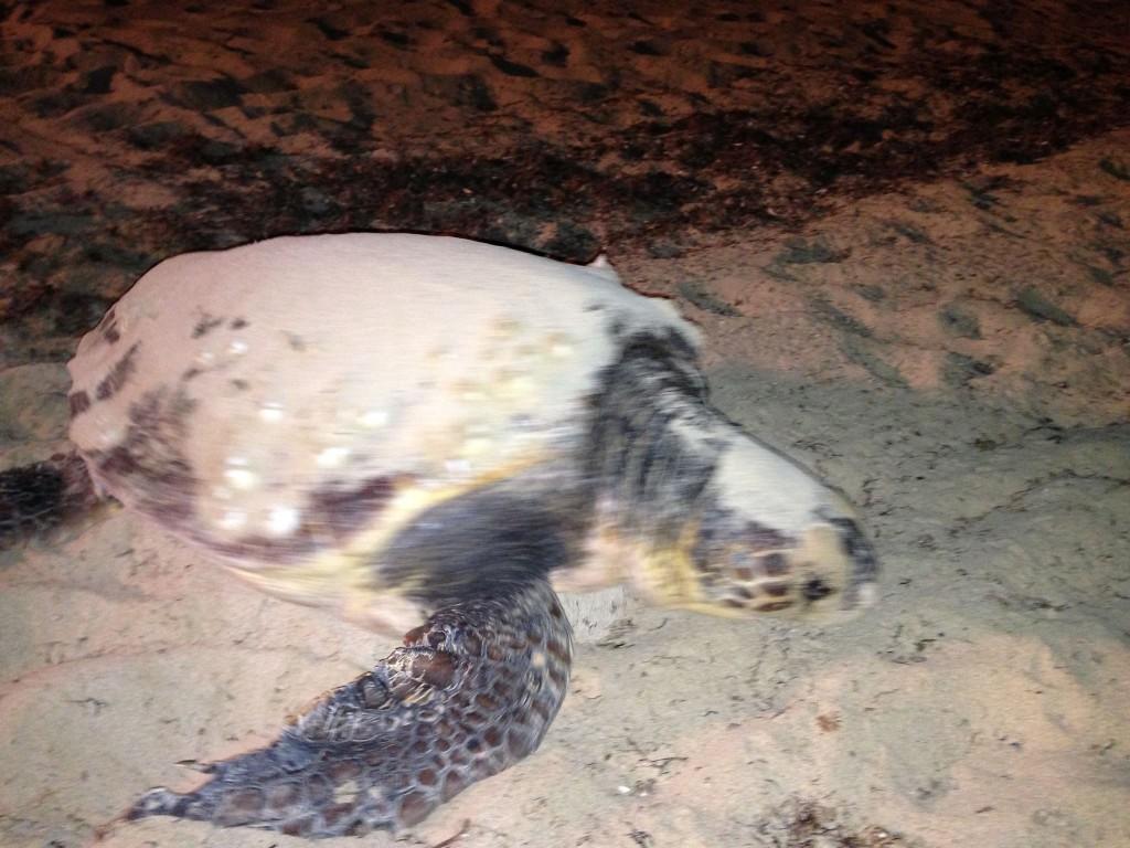 La Tartaruga Caretta Caretta sulla spiaggia di Pescoluse